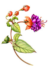 Botanical watercolor graphic illustration of a fuchsia flower with buds