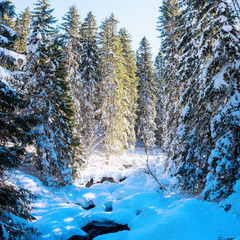 Fir forest covered with snow