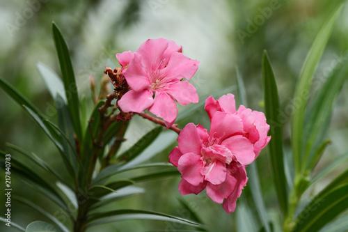 Pink flowers name is oleander nerium oleander l blooming over pink flowers name is oleander nerium oleander l blooming over tree mightylinksfo