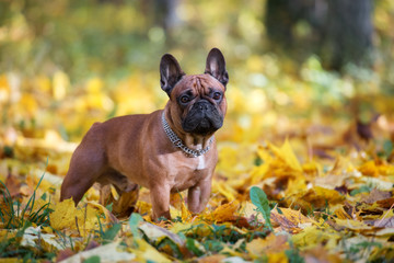 Papiers peints Bouledogue français beautiful french bulldog posing outdoors in autumn
