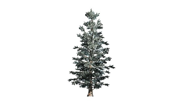 Colorado Blue Spruce winter tree cluster - isolated on white background