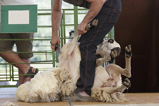 Man shearing a churra sheep (an ancient Iberian breed from Castile and Leon, Spain)