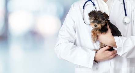 Small cute dog examined at the veterinary doctor, close-up Wall mural