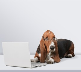 Basset Hound dog with laptop  on background