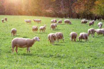 Schafe auf der herbstlichen Weide