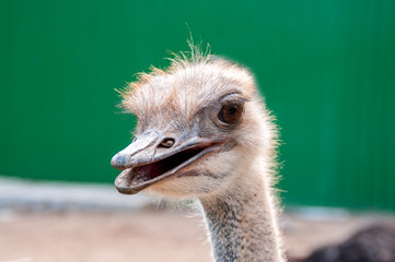 Ostrich head close-up