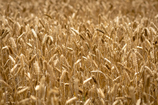 Abstraction background with golden rye field.