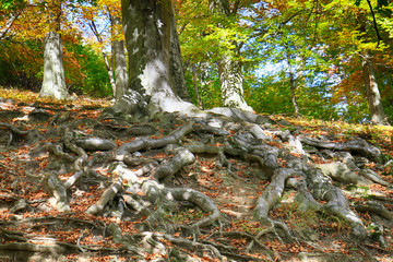 old beech tree with nice roots