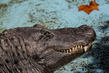 The odlest American alligator in the world