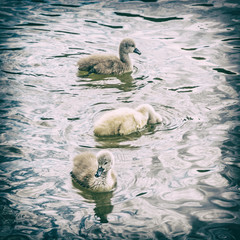 Young ones of white swan, analog filter