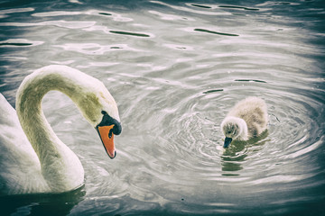 White mother swan swim with her young, analog filter