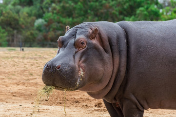 Common hippopotamus, hippopotamus amphibius, or hippo is common to Africa.