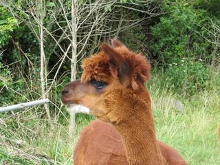 Chocolate brown llamas