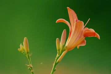 Flowers lily isolated on green background