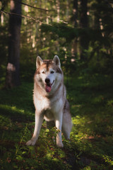 Portrait of free and beautiful dog breed siberian husky standing in the green mysterious forest and at sunset