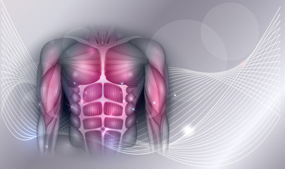 Muscles of the human body, abdomen, chest and arms, beautiful colorful illustration on an abstract background.