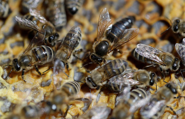 The queen bee is seen among other bees on a honeycomb at the apiary of beekeeper Anna Lobyntseva in Belgorod region