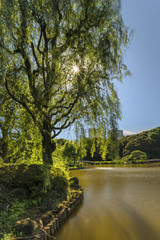 Weeping willow tree on the Upper Pond and wooden bridge in the pine and maple forest of the traditional Japanese garden of Gyoen Park under a blazing sun in early summer.