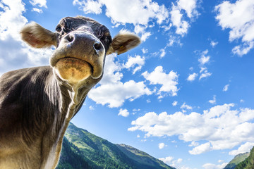 Fototapete - funny cow