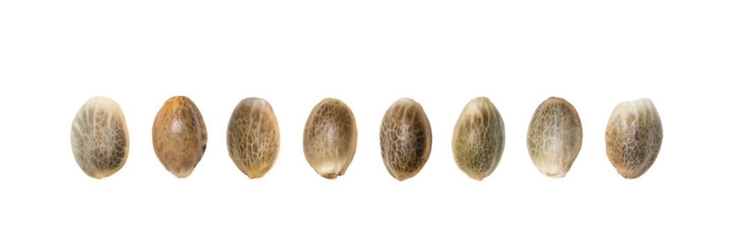 Close up of hemp seeds arranged in a straight line isolated on white background