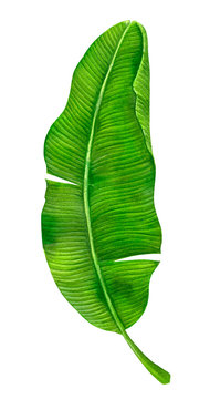 Banana leaf painted with watercolors and isolated on white background. Elemement for design.