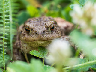 The common toad frog, European toad (bufo bufo) is an amphibian found throughout most of Europe