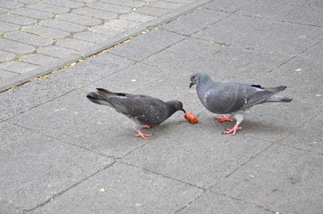 Two pigeons (doves) pecking a piece of sausage on the sidewalk