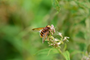Banded Hoverfly, U.K.
