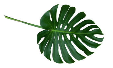 Green monstera plant leaf with stalk, the tropical evergreen vine isolated on white background, clipping path included