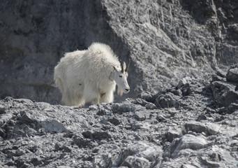 Mountain Goat Mama