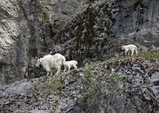 Mountain Goat Mama and Babies, Glacier Bay, Alaska