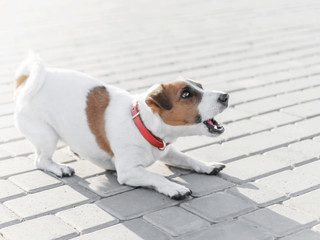 A small dog jack russell terrier in red collar running, jumping, playing and barking on gray sidewalk tile at sunny summer day Fotobehang
