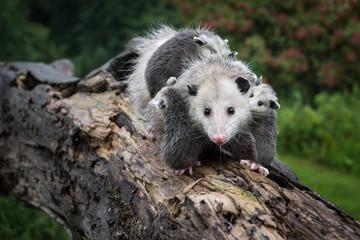 Wall Mural - Drooling Opossum (Didelphimorphia) Carries Her Joeys Across Log