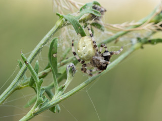 Araneus quadratus spider with his pray on green plant