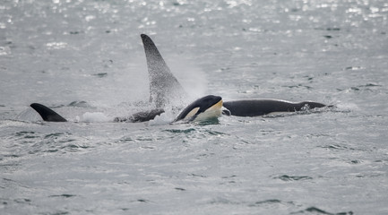 Baby Orca Spouting as It Swims with Family