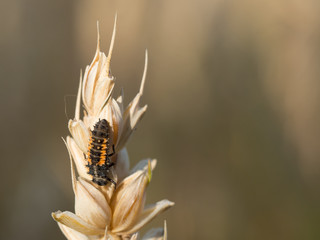 Ladybug larva sitting on a grain