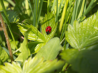 The seven-spot ladybird (Coccinella septempunctata)