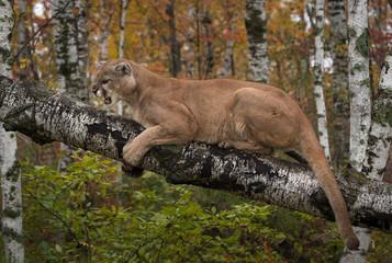 Printed kitchen splashbacks Puma Snarling Adult Male Cougar (Puma concolor)