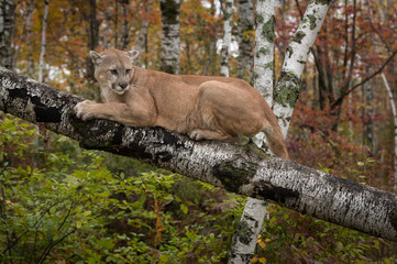 Wall Mural - Adult Male Cougar (Puma concolor) Looks Back While Clawing at Branch