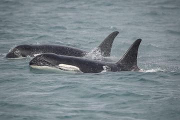 Two Orcas, Icy Strait, Alaska