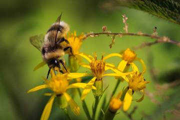 Biene sammelt Honig auf einer gelben Blume, Detailaufnahme