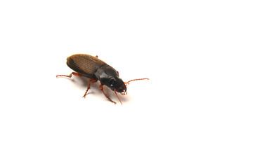 harpalus rufipes beetle