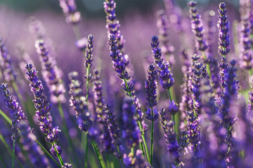 Photo Blinds Lavender gros plan de brins de lavande dans un champ