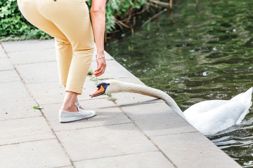 Beautiful white swan trying to bite a woman