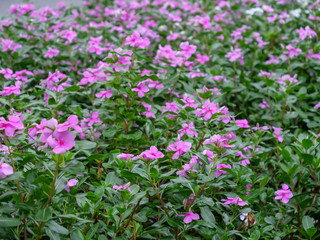 Pink flowers and green leaves on background