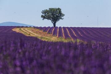 Garden Poster Lavender champs de lavande en provence