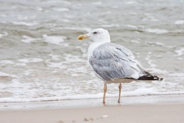 Mewa na brzegu morza