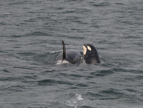 Spyhopping Baby Orca, Icy Strait, Alaska