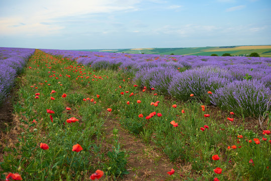 lavender field with poppy flowers, beautiful summer landscape