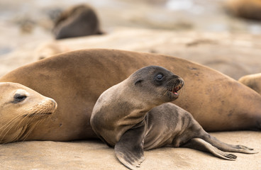 Sea lion pup and mom sitting on the cliffs in La Jolla, California, USA